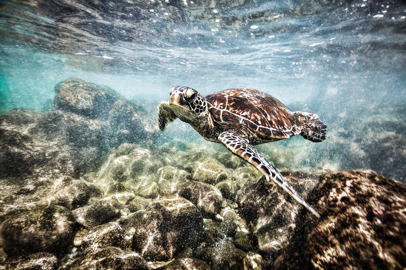 Green Sea turtle (5 of 20).jpg
