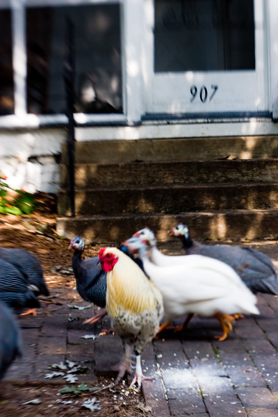 The_Chickens_of_907.jpg