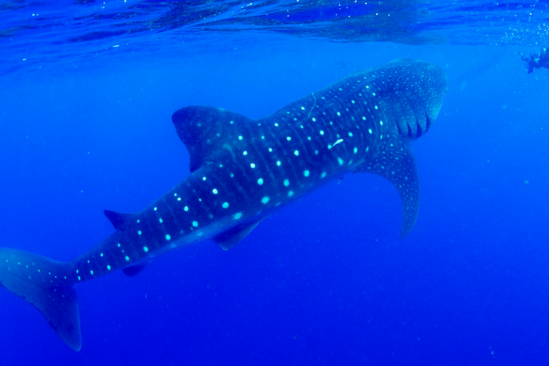 2014 Whale Shark - Cave Adventure-12.jpg