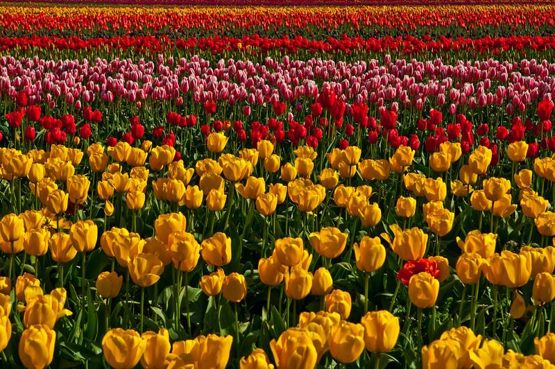 TulipFestival-168.jpg