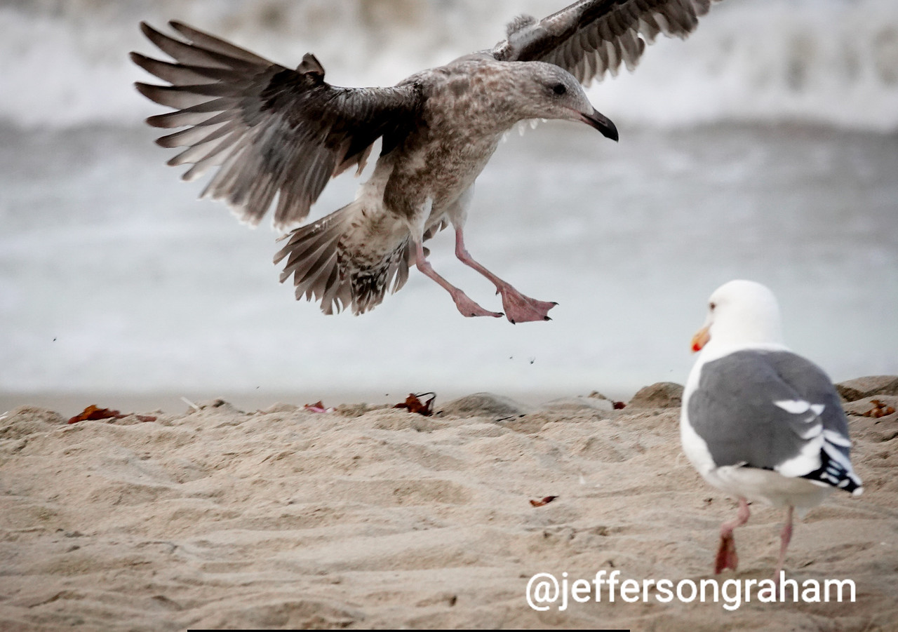 A morning bird comes in for a landing on the sands of Manhattan Beach.