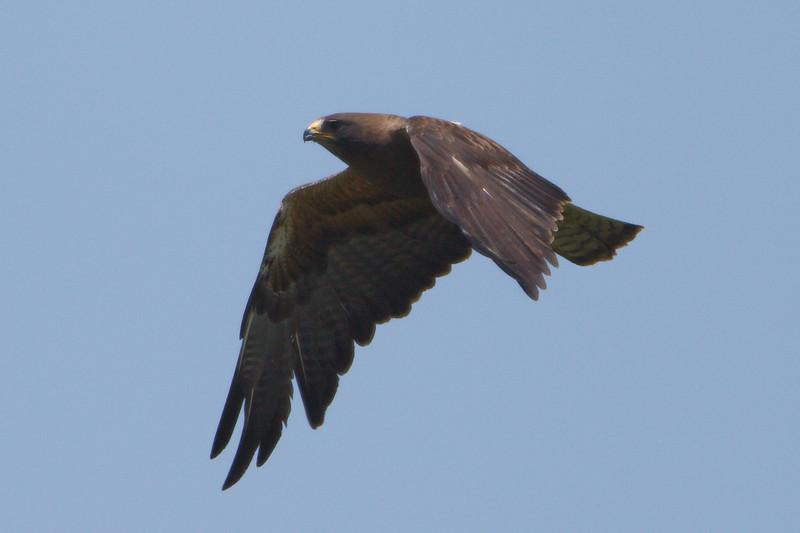 Swainson's Hawk dark morph adult (12) at Firebaugh, CA (07-18-2009)