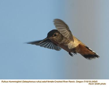 Rufous Hummingbird F24545.jpg
