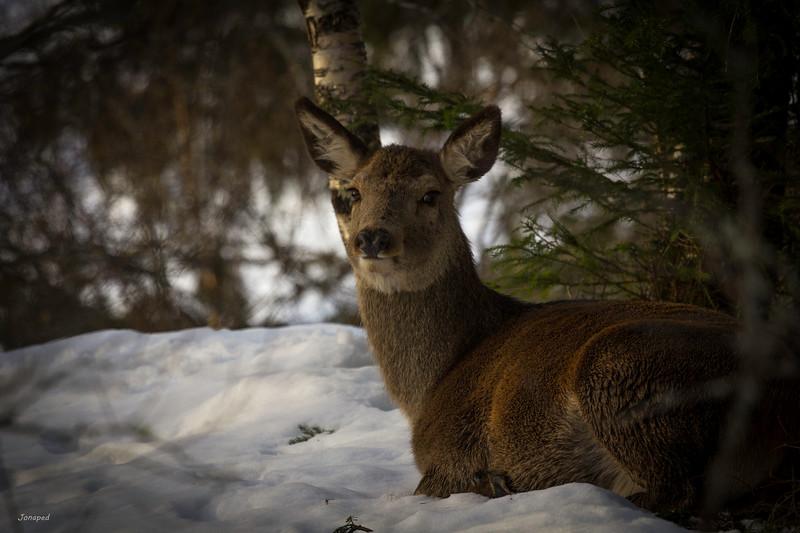 Mor Hjort i Vinterpels