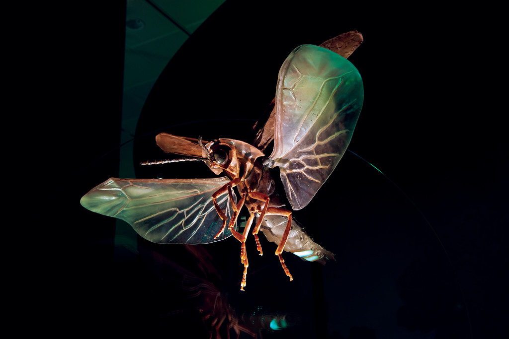 . This is a large re-creation of a male fireflies. Fireflies and their various light-producing habits are well-represented in �Creatures of Light: Nature�s Glowing Mysteries,� which is on display at the at the Cleveland Museum of Natural History through Jan. 7. For more information, visit CMNH.org. (Denis Finnin for the American Museum of Natural History)