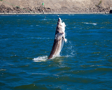 Fishing for sturgeon on the Columbia
