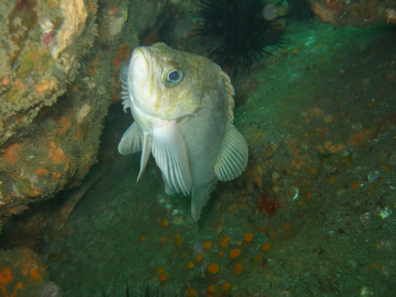 "Kelp Rockfish 'heads up!"""