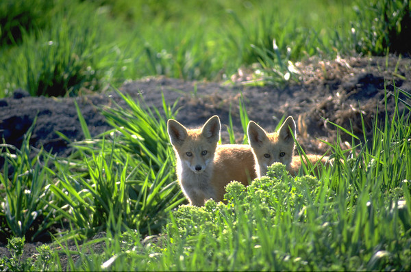 Wolves, foxes, coyotes