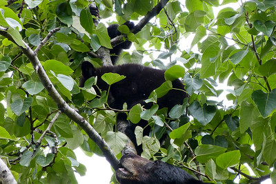 Black Bear in a Cottonwood Tree in the Rain - Mother and Two Cubs June 2014, Cynthia Meyer, Juneau, Alaska