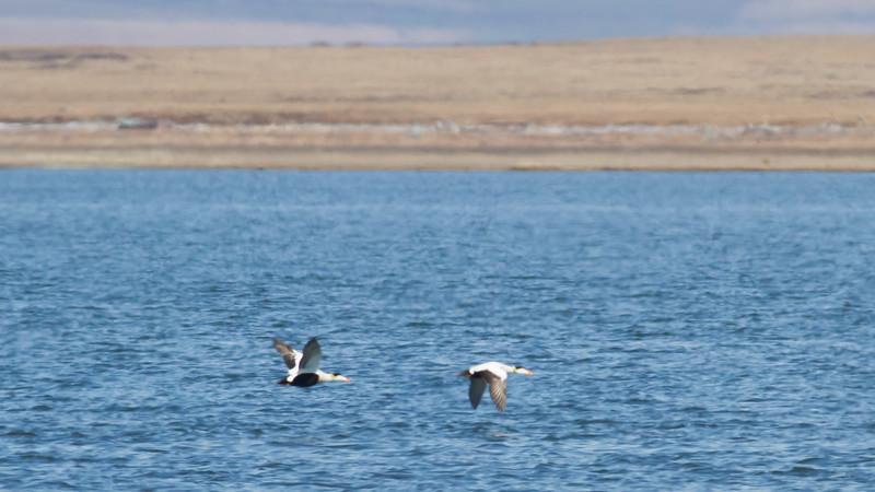 Common Eider - Two breeding males in flight - Record - Nome, AK, USA