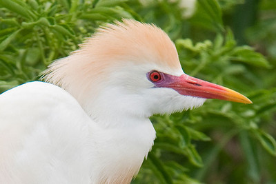 July 25, 2010 - Cattle Egrets at Gatorland