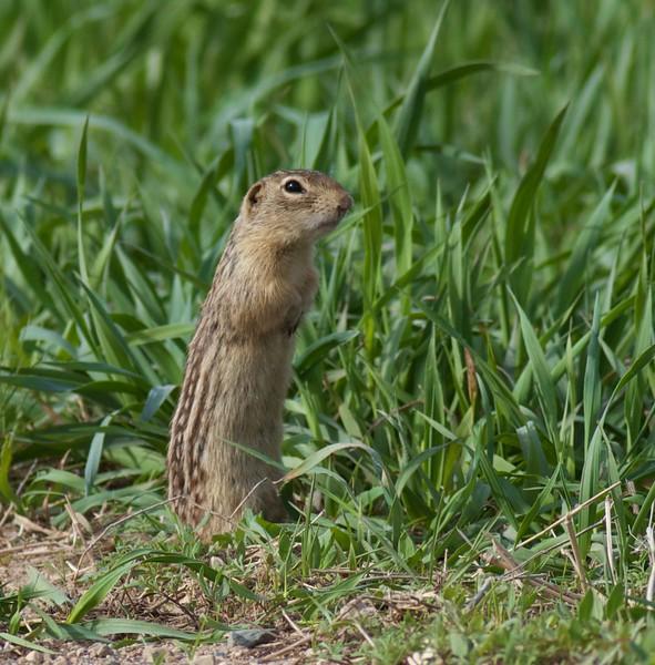 Thirteen-lined Ground Squirrel Rock Co MN IMG_0355.jpg