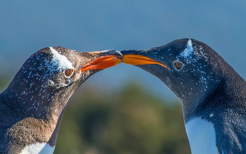 Penguins_Gentu_Ushuaia-12-Edit.jpg