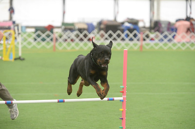 Colonial Rottweiler Club AKC Agility Trail May 6-8