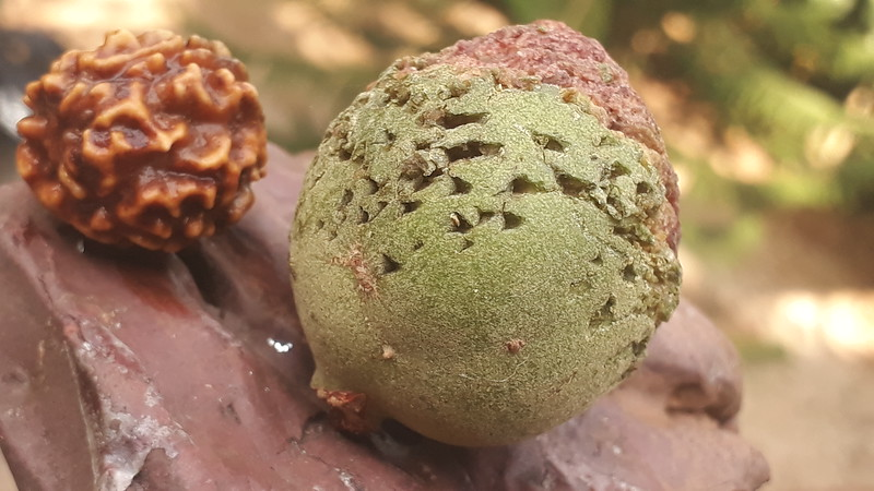 Fruit of Rudralsha, fallen by flting fox