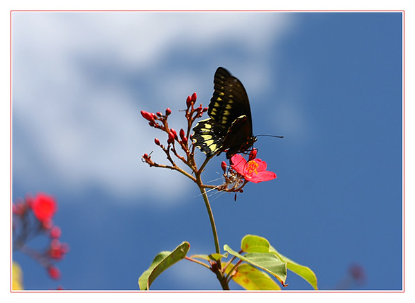Thoas Swallowtail I am not sure of the true ID- anyone know for sure ? Great Guana Cay, Abacos, Bahamas