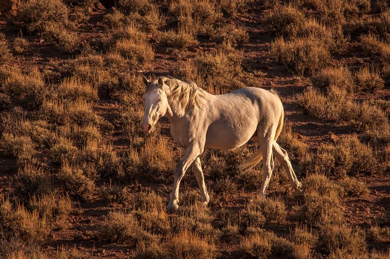 White Wild Horse Walking Near Rt 6 #1