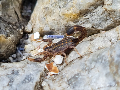 Striped Lesser Thicktailed Scorpion (Uroplectes lineatus)
