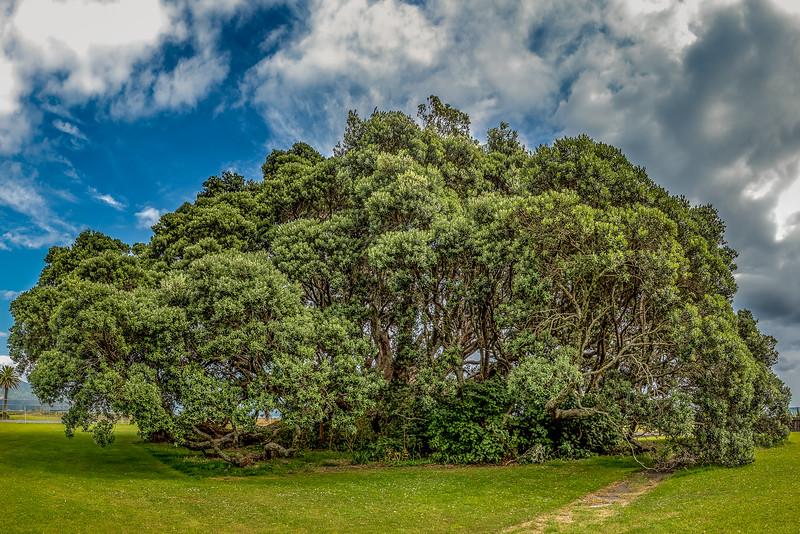 Grösster bekannter Pohutukawa in Te Araroa