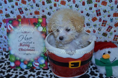 4. POODLE  Photos and Videos