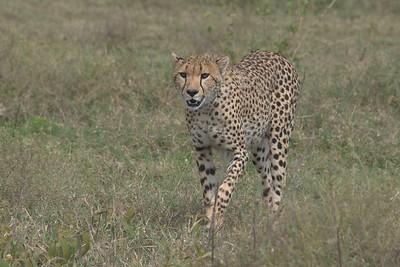 Cheetah ▸
