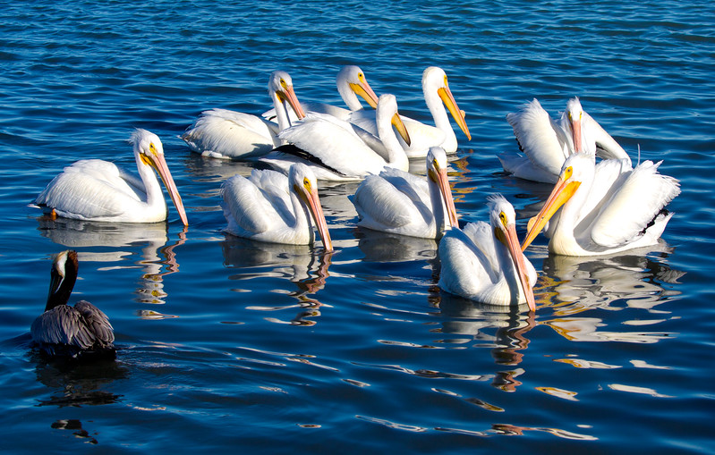 Ten White Pelicans and one Brown