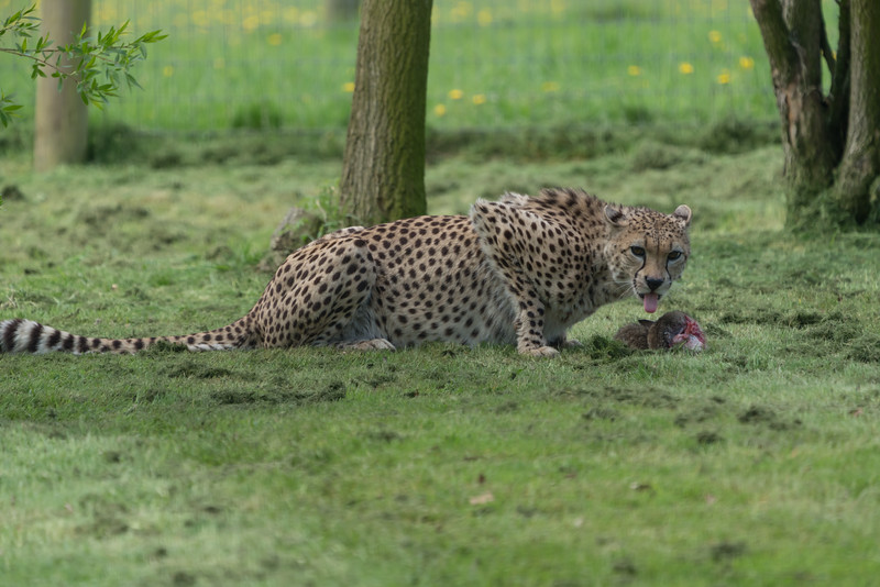 Animals, Big Cat, Cheetah, Marwell Zoo @ Marwell Zoo, City of Winchester,England - 26/04/2018