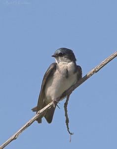Tachycineta bicolor - Tree Swallow