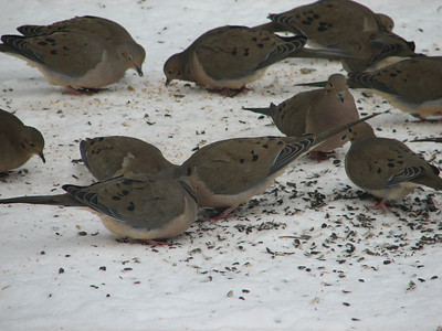 20070207 Mourning Dove