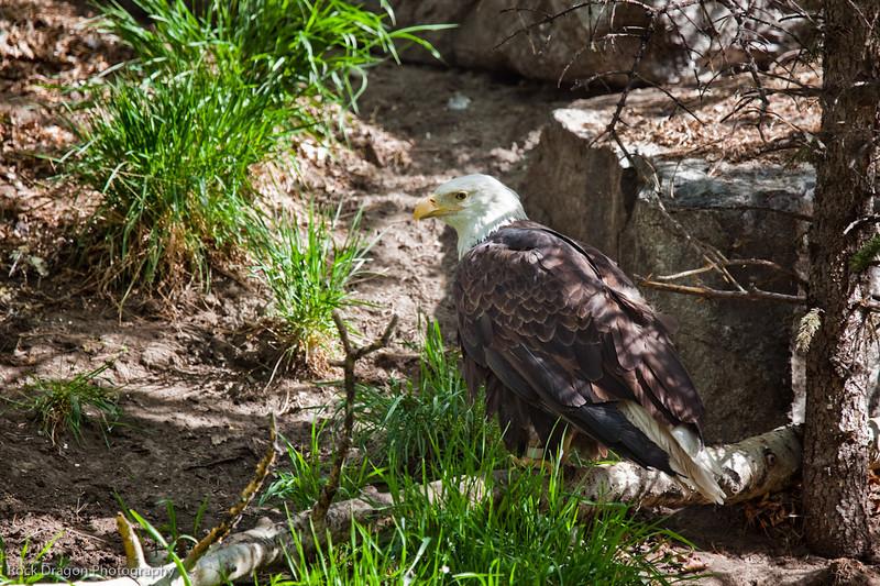 Bald Eagle, Calgary Zoo