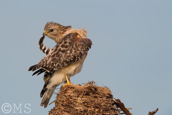 Red Shoulder Hawk Image Gallery