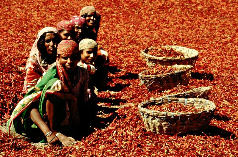 Dalit women working in a sea of dried red chills. Saundatti, Karnataka; India.