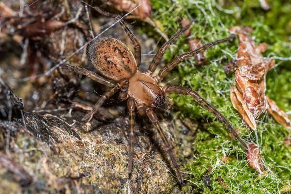 Sheetweb spiders (Stiphidiidae)