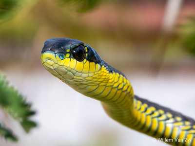 Cape Boomslang (Dispholidus typus typus)