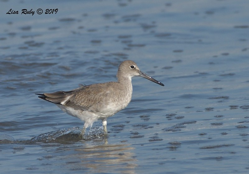 Willet  - 8/25/2019 - Imperial Beach near pier
