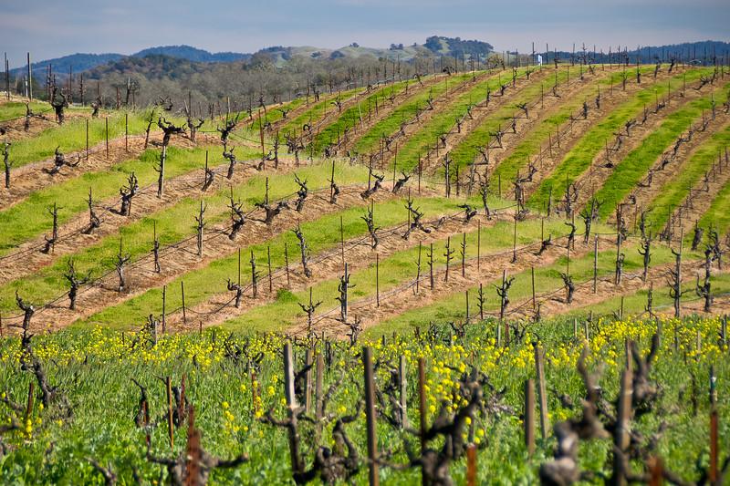 Old Vines at Ridge