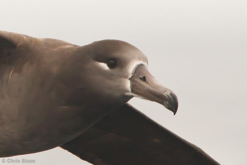 Black-footed Albatross at pelagic out of Bodega Bay, CA (10-15-2011) - 074.jpg