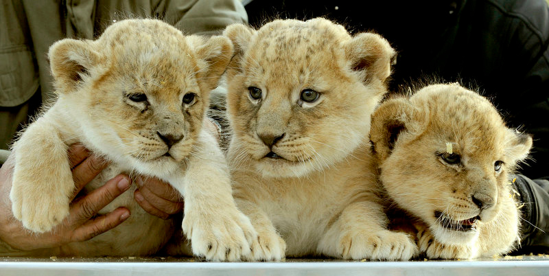 Description of . Five-weeks old baby lions (L-R) Nala, Simba and Asali pose for a group photo after a clinical routine examination at the Serengeti-Park animal park in Hodenhagen, central Germany. The examination included a check of their teeth, claws, eyes and ears as well as a behaviour test and the determination of their weight.    (HOLGER HOLLEMANN/AFP/Getty Images)