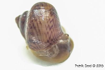 Pylopulmonata