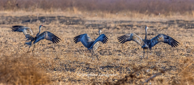 _DSC7273Three Cranes takeoffb.jpg