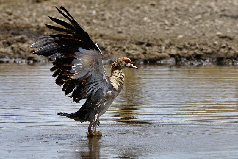 Egyptian-Goose.jpg