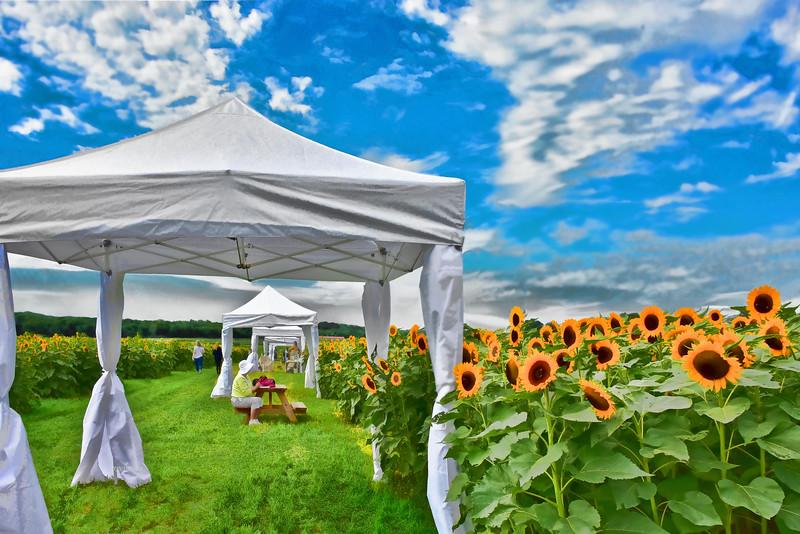 Sunflower Field-Artists at Work