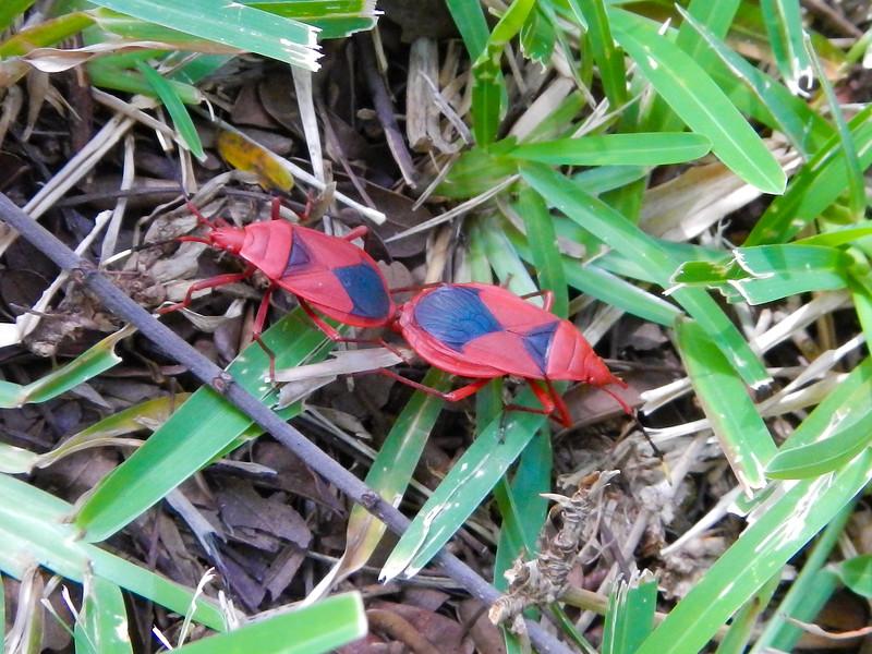 Predatory Red Bug (Antilochus coquebertii)