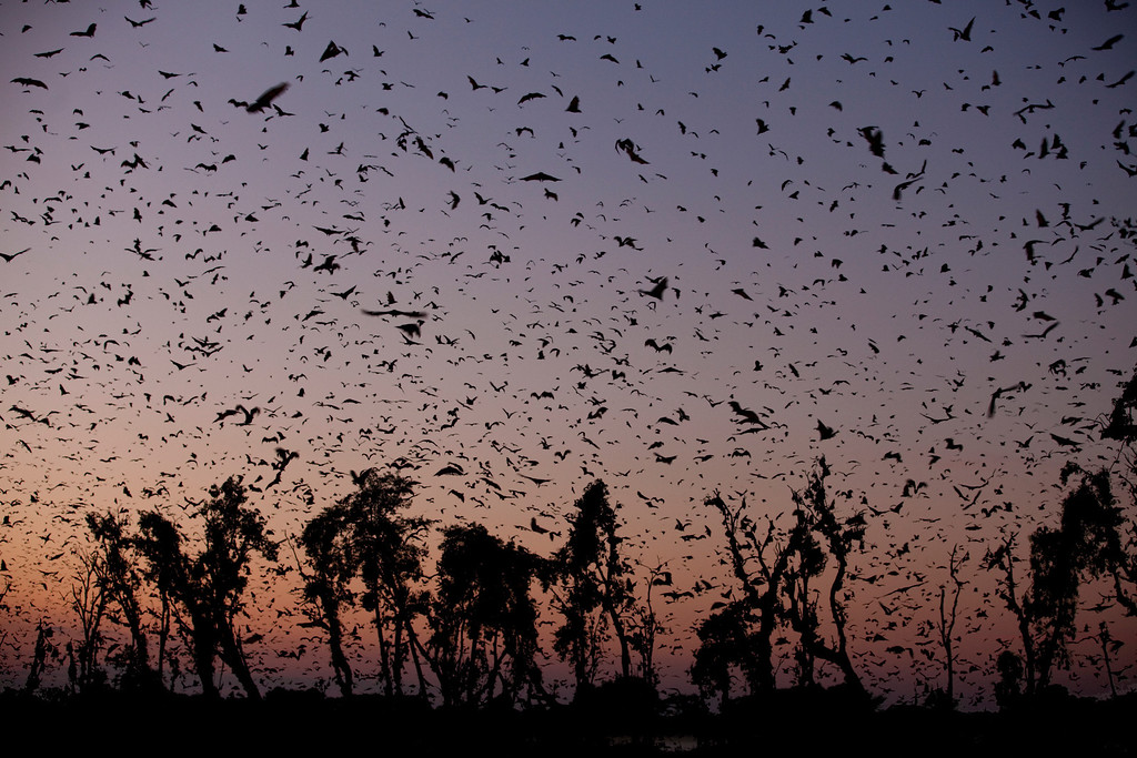 . Eight million straw-colored fruit bats fill the sky above a tiny patch of forest in Kasanka, Zambia. This short-lived, annual aggregation is thought to contain the highest density of mammals anywhere on Earth. So it�s no surprise that this natural event attracts predators.   Discovery Channel