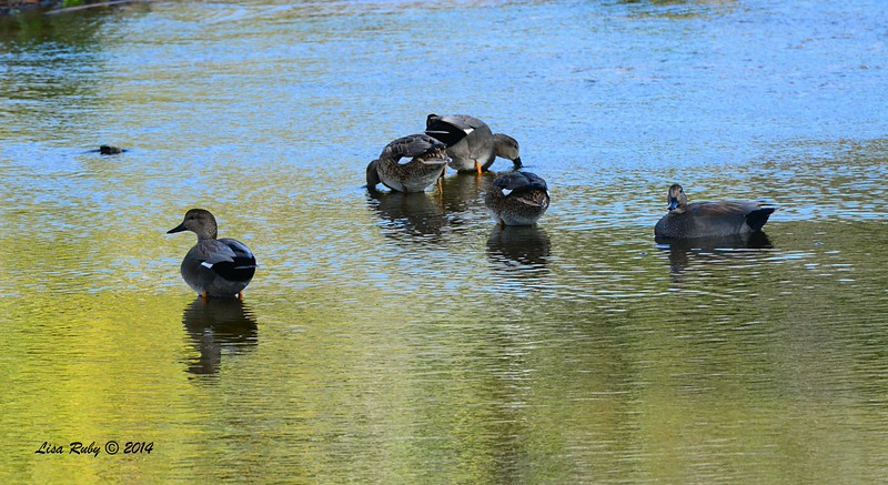 Five Gadwall - 12/14/2014 - Poway Creek