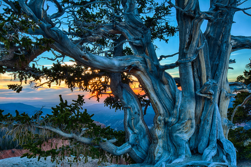 Cedar Breaks National Monument.  A Bristlecone Pine Tree at sunset. This view is from Spectra Point. This is a 3 exposure  HDR photo.