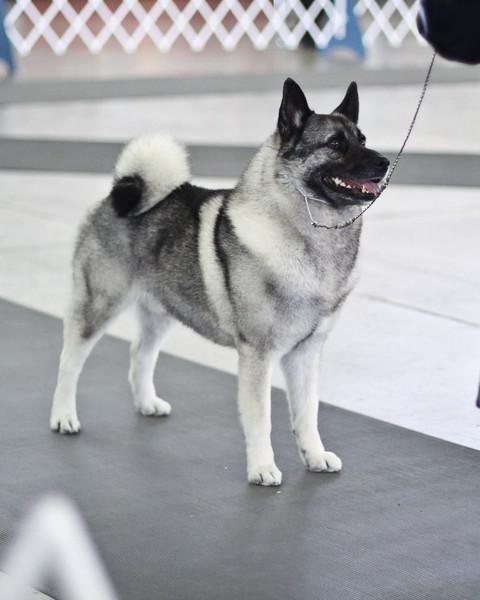 Norwegian Elkhound Dog Show Pics