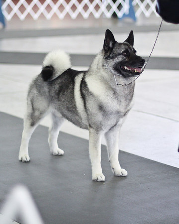 Norwegian Elkhound Dog Show Pics