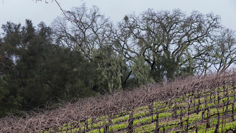 Oaks and Merlot