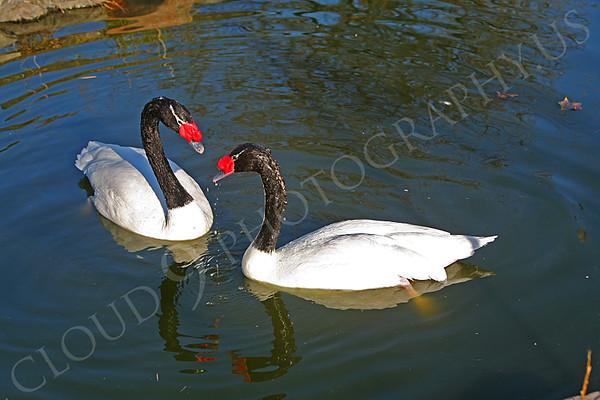 Black-Necked Swan Wildlife Photography